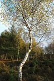 Дерево серебряной березы/Береза повислая накаляя в свете Skipwith общем восточном Йоркшире Англии после полудня Стоковое Изображение RF
