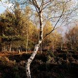 Дерево серебряной березы/Береза повислая накаляя в свете Skipwith общем восточном Йоркшире Англии после полудня Стоковое фото RF