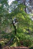 Дерево серебряной березы в лесе Фонтенбло стоковые фотографии rf