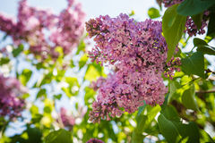 Дерево сирени, Syringa vulgaris Стоковое фото RF