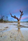 Дерево сиротливой мангровы старое Стоковое Изображение RF