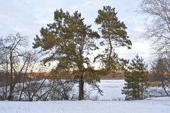 Дерево сосенки на береге Стоковое Фото