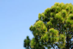 Дерево сосенки с голубым небом стоковое фото rf
