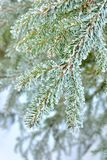 Дерево сосенки стоковые изображения rf