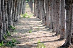 Дерево сосенки стоковое изображение
