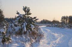 Дерево сосенки Стоковые Фотографии RF