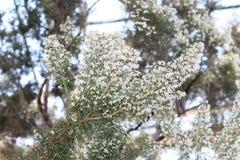 Дерево с белыми цветками Стоковые Изображения RF