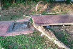 Дерево с большими корнями разрушает сломало мостоваую дорожки повреждения Стоковое фото RF