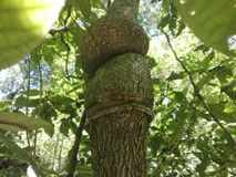 Дерево с ветвями которое выглядит как узлы стоковые фото