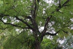 Дерево с ветвями Стоковые Изображения RF