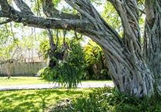 Дерево с вися частью стоковые фотографии rf