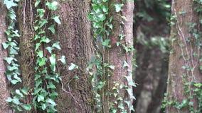 Дерево с густолиственными лозами сток-видео
