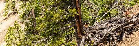 Дерево с длинными корнями над землей на этап художника в гранд-каньоне Йеллоустона, национальном парке Йеллоустона стоковые фотографии rf