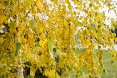 Дерево с желтыми листьями осени, Стоковые Изображения