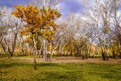 Дерево с желтым цветом выходит на зеленую траву Стоковое фото RF