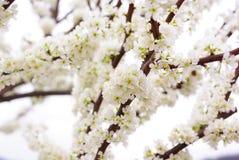Дерево сливы Стоковая Фотография
