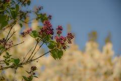Дерево с красными бутонами Стоковое Фото