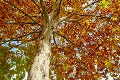 Дерево с листьями осени на золотом тоне Сезонная предпосылка Hor стоковые фотографии rf