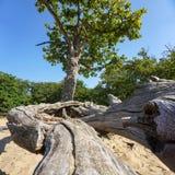 Дерево с мертвыми ветвями и согнутыми горизонтальными журналами Стоковые Изображения