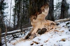 Дерево с метками зубов бобра стоковое изображение