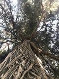 Дерево с необыкновенной текстурой расшивы показано стоковая фотография rf