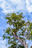 Дерево с облаком голубого неба позади стоковая фотография
