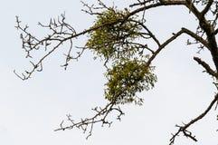 Дерево с омелой - viscum Стоковая Фотография RF