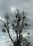 Дерево с омелой Стоковое Изображение