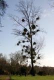 Дерево с омелой Стоковые Фото