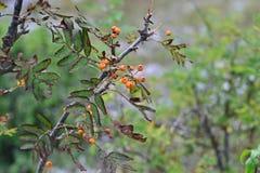 Дерево с плодоовощами боярышника стоковые фото