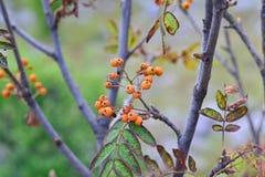 Дерево с плодоовощами боярышника стоковые изображения rf