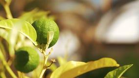 Дерево с плодоовощ известки в свете солнца сток-видео