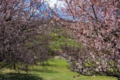 Дерево с розовыми цветками Стоковое Изображение