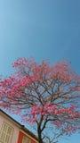 Дерево с розовыми цветками Стоковая Фотография