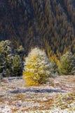 Дерево с снегом в осени Стоковые Изображения