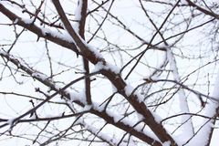 Дерево с снежком Стоковое Фото