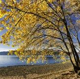 Дерево с цветами осени на пляже озера стоковые фото
