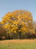 Дерево с цветастыми листьями Стоковое фото RF