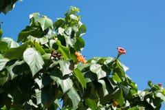 Дерево с цветками на улицах Гаваны, Кубы Стоковая Фотография