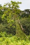 Дерево с 2 diguised игуаны на бечевнике, Панаме Стоковые Фотографии RF