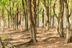 Дерево тамаринда Стоковые Фотографии RF