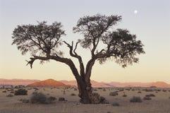 Дерево терния верблюда в пустыне Namib стоковое изображение rf