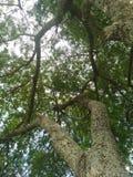 Дерево 2 Техаса сидя стоковые фото
