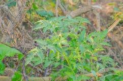 Дерево томатов Стоковое фото RF