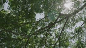 дерево тропического леса замедленного движения 4K зеленое с пирофакелом света солнца в квадратной концепции ландшафта парка на ве сток-видео