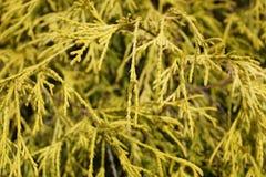Дерево туи стоковое фото rf