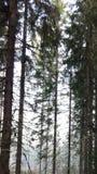 Дерево тумана леса Стоковые Изображения RF