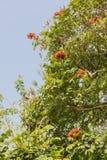 Дерево тюльпана Africom, колокол огня, дерево фонтана, цветки и травы Стоковое Изображение RF