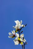 Дерево тюльпана - магнолия Стоковые Фотографии RF