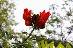 Дерево тюльпана Africom Стоковая Фотография RF